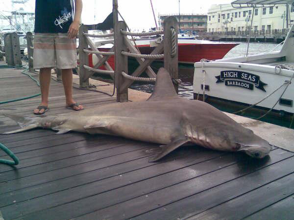 High Seas Fishing Charters - Hammer Head Shark Caught in Barbados Waters